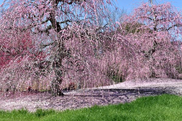 今年は梅の開花時期に行けなかった。好きな1枚をUPした。_a0158609_11085186.jpg