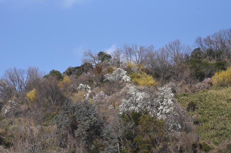 21年早春の自然(18)…花咲き山_c0062934_22284136.jpg
