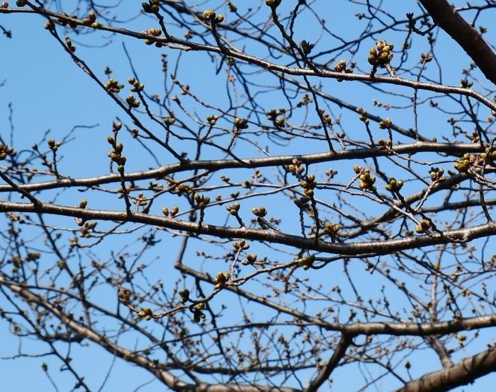 桜まつり準備完了  2021-03-15 00:00_b0093754_23190486.jpg