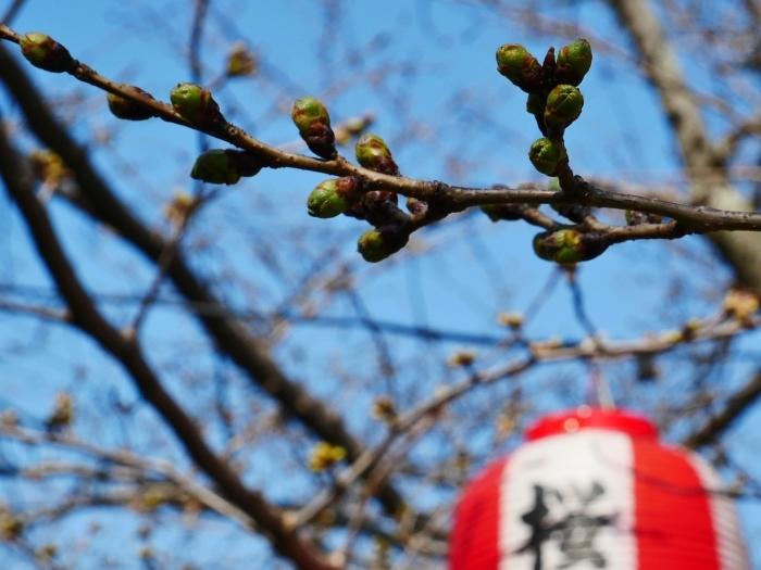 桜まつり準備完了  2021-03-15 00:00_b0093754_23191292.jpg