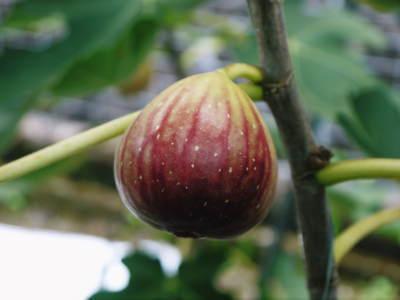 甘熟イチジク 匠の剪定作業2021 前編:果実を実らせる剪定と果樹を若返らせるための仕立て剪定と誘引_a0254656_16441811.jpg