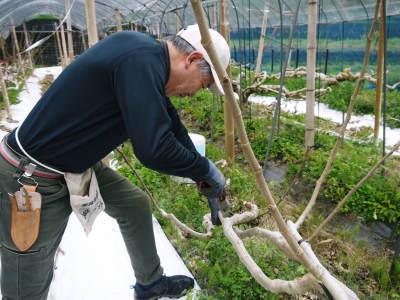 甘熟イチジク 匠の剪定作業2021 前編:果実を実らせる剪定と果樹を若返らせるための仕立て剪定と誘引_a0254656_17290561.jpg