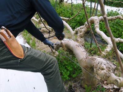 甘熟イチジク 匠の剪定作業2021 前編:果実を実らせる剪定と果樹を若返らせるための仕立て剪定と誘引_a0254656_18102208.jpg