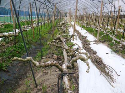 甘熟イチジク 匠の剪定作業2021 前編:結果枝を匠の剪定!1節から実るように弱い芽を残します! _a0254656_17515454.jpg