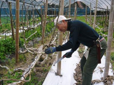甘熟イチジク 匠の剪定作業2021 前編:結果枝を匠の剪定!1節から実るように弱い芽を残します! _a0254656_18175825.jpg