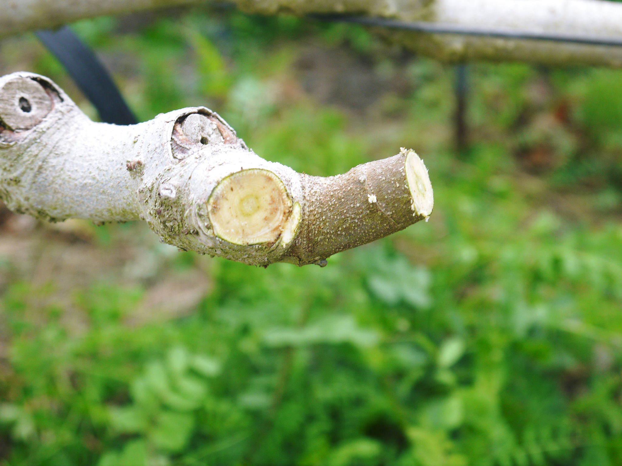 甘熟イチジク 匠の剪定作業2021 前編:結果枝を匠の剪定!1節から実るように弱い芽を残します! _a0254656_18273453.jpg