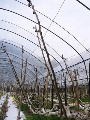 甘熟イチジク 匠の剪定作業2021 前編:結果枝を匠の剪定!1節から実るように弱い芽を残します! _a0254656_18462053.jpg