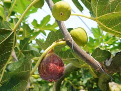 甘熟イチジク 匠の剪定作業2021 前編:結果枝を匠の剪定!1節から実るように弱い芽を残します! _a0254656_18564520.jpg