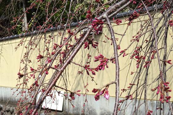 イトサクラ開花が間近です_b0145257_12382660.jpg