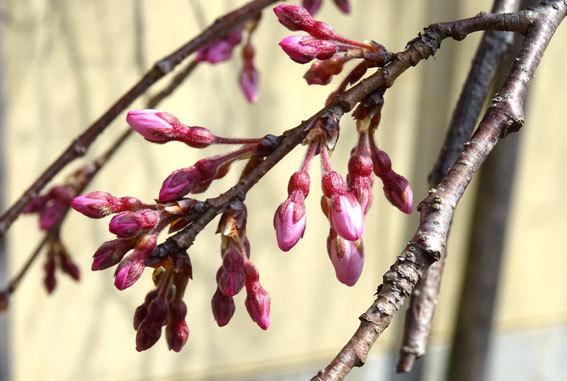イトサクラ開花が間近です_b0145257_12382984.jpg