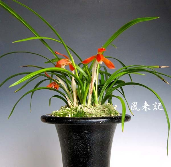 日本春蘭「かぐや姫」         No.2087_d0103457_23403667.jpg