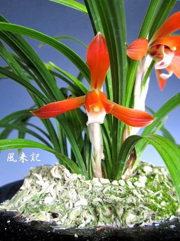 日本春蘭「かぐや姫」         No.2087_d0103457_23405668.jpg