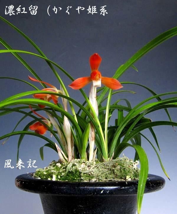 日本春蘭「かぐや姫」         No.2087_d0103457_23412234.jpg