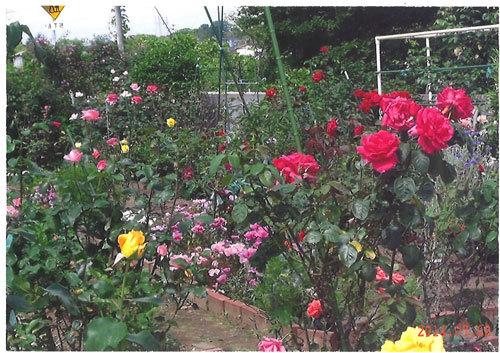 薔薇の日々……老いをたのしみあじわう_f0071480_19594543.jpg