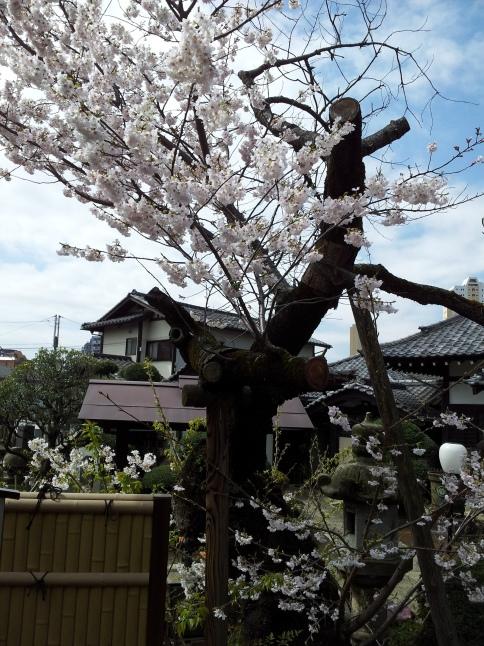 2012/3【春のフォトグラフ】花が咲いたら日記~目黒古桜と目黒川下流のソメイヨシノ_b0116271_15150429.jpg