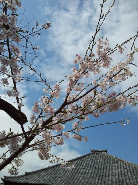 2012/3【春のフォトグラフ】花が咲いたら日記~目黒古桜と目黒川下流のソメイヨシノ_b0116271_15152689.jpg