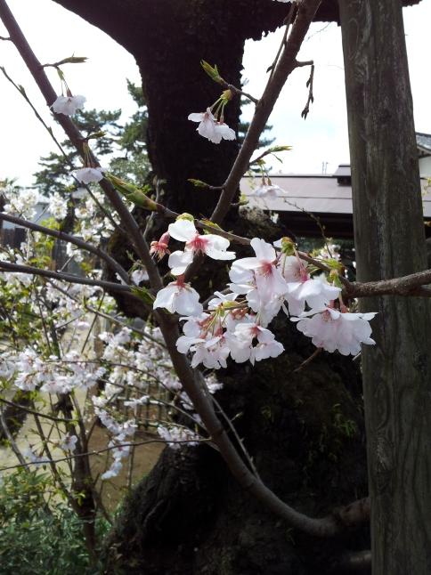 2012/3【春のフォトグラフ】花が咲いたら日記~目黒古桜と目黒川下流のソメイヨシノ_b0116271_15152727.jpg