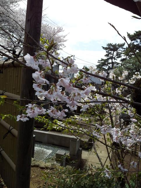 2012/3【春のフォトグラフ】花が咲いたら日記~目黒古桜と目黒川下流のソメイヨシノ_b0116271_15152839.jpg