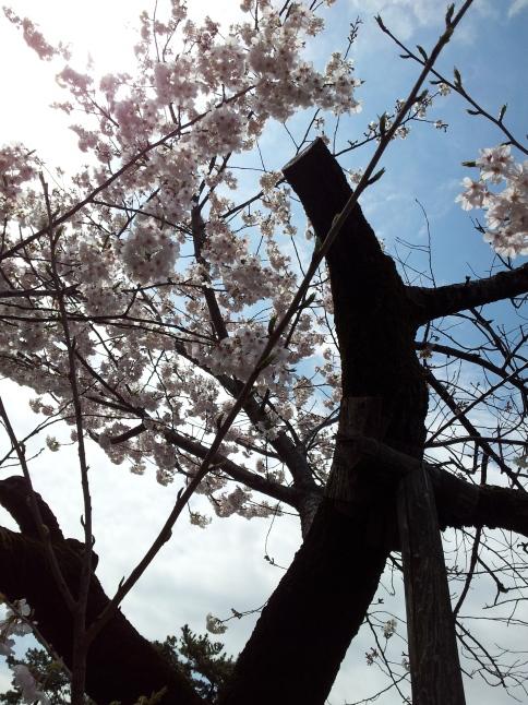 2012/3【春のフォトグラフ】花が咲いたら日記~目黒古桜と目黒川下流のソメイヨシノ_b0116271_15152884.jpg