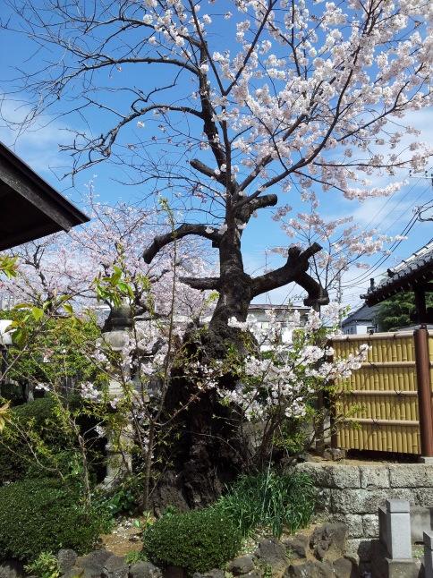 2012/3【春のフォトグラフ】花が咲いたら日記~目黒古桜と目黒川下流のソメイヨシノ_b0116271_15170954.jpg