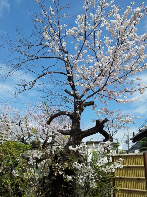 2012/3【春のフォトグラフ】花が咲いたら日記~目黒古桜と目黒川下流のソメイヨシノ_b0116271_15171038.jpg