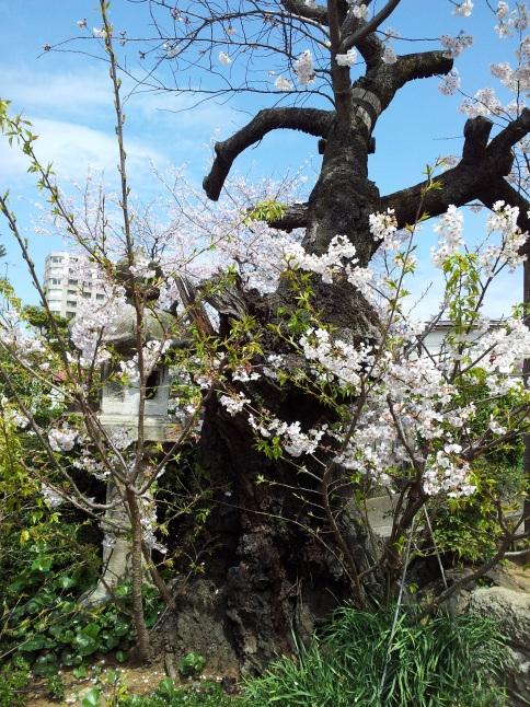 2012/3【春のフォトグラフ】花が咲いたら日記~目黒古桜と目黒川下流のソメイヨシノ_b0116271_15181132.jpg