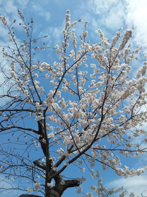 2012/3【春のフォトグラフ】花が咲いたら日記~目黒古桜と目黒川下流のソメイヨシノ_b0116271_15181164.jpg