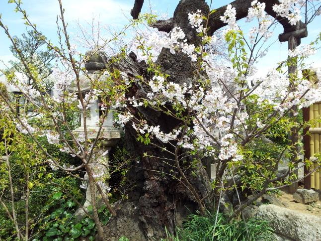 2012/3【春のフォトグラフ】花が咲いたら日記~目黒古桜と目黒川下流のソメイヨシノ_b0116271_15181231.jpg
