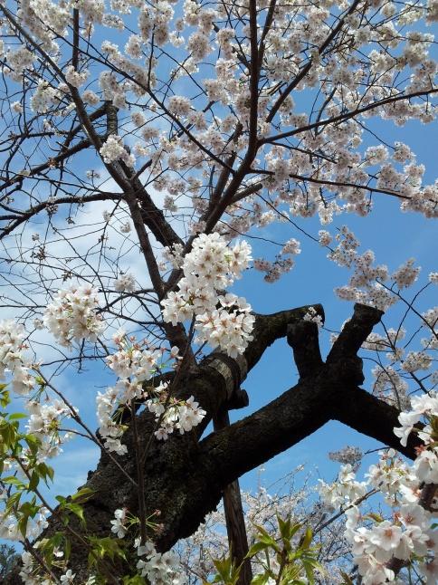 2012/3【春のフォトグラフ】花が咲いたら日記~目黒古桜と目黒川下流のソメイヨシノ_b0116271_15181351.jpg