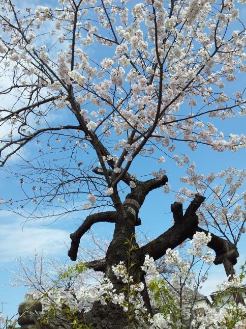 2012/3【春のフォトグラフ】花が咲いたら日記~目黒古桜と目黒川下流のソメイヨシノ_b0116271_15181376.jpg