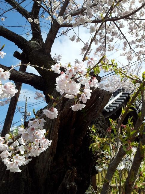 2012/3【春のフォトグラフ】花が咲いたら日記~目黒古桜と目黒川下流のソメイヨシノ_b0116271_15185045.jpg