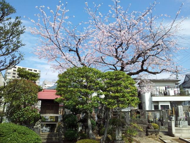 2012/3【春のフォトグラフ】花が咲いたら日記~目黒古桜と目黒川下流のソメイヨシノ_b0116271_15185141.jpg