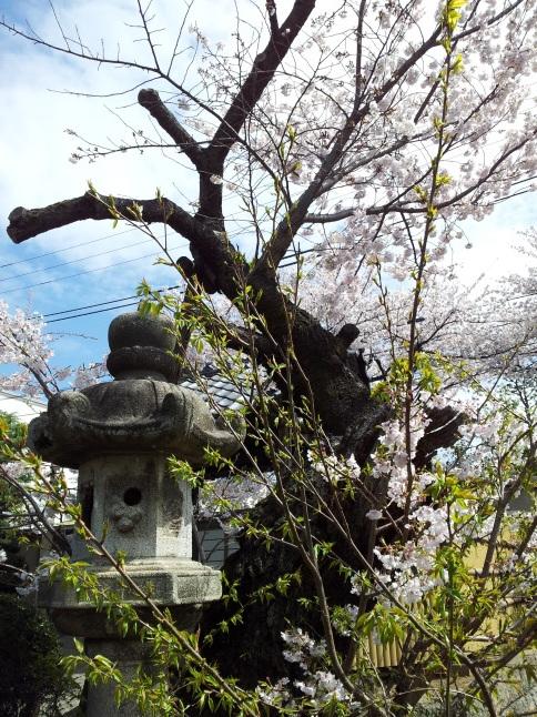 2012/3【春のフォトグラフ】花が咲いたら日記~目黒古桜と目黒川下流のソメイヨシノ_b0116271_15185204.jpg