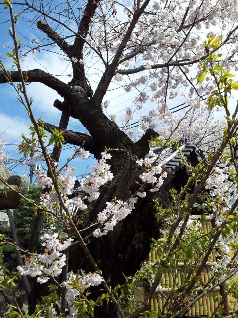 2012/3【春のフォトグラフ】花が咲いたら日記~目黒古桜と目黒川下流のソメイヨシノ_b0116271_15185373.jpg