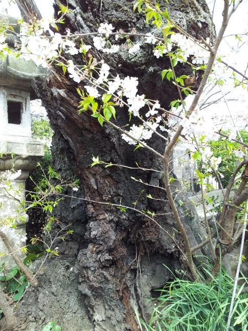 2012/3【春のフォトグラフ】花が咲いたら日記~目黒古桜と目黒川下流のソメイヨシノ_b0116271_15195157.jpg