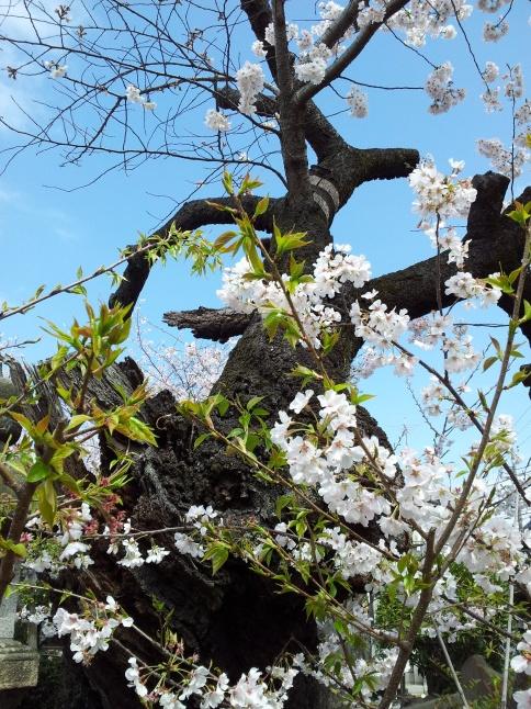 2012/3【春のフォトグラフ】花が咲いたら日記~目黒古桜と目黒川下流のソメイヨシノ_b0116271_15195291.jpg