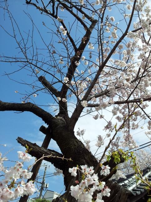 2012/3【春のフォトグラフ】花が咲いたら日記~目黒古桜と目黒川下流のソメイヨシノ_b0116271_15195384.jpg