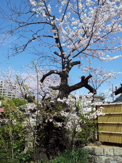 2012/3【春のフォトグラフ】花が咲いたら日記~目黒古桜と目黒川下流のソメイヨシノ_b0116271_15195397.jpg