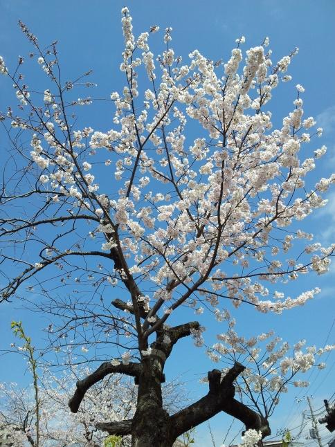 2012/3【春のフォトグラフ】花が咲いたら日記~目黒古桜と目黒川下流のソメイヨシノ_b0116271_15195449.jpg