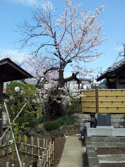 2012/3【春のフォトグラフ】花が咲いたら日記~目黒古桜と目黒川下流のソメイヨシノ_b0116271_15211077.jpg