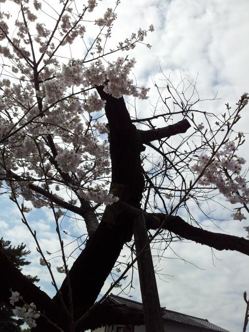 2012/3【春のフォトグラフ】花が咲いたら日記~目黒古桜と目黒川下流のソメイヨシノ_b0116271_15211286.jpg