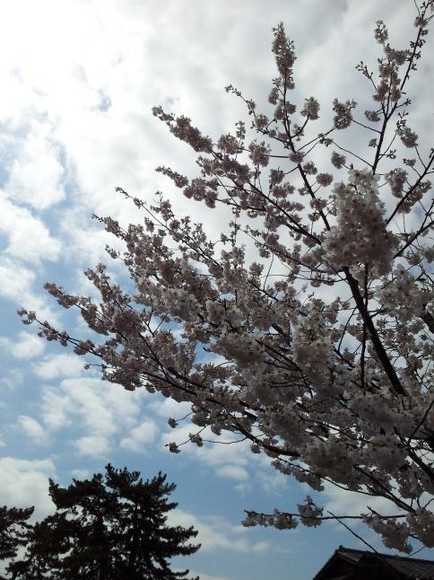 2012/3【春のフォトグラフ】花が咲いたら日記~目黒古桜と目黒川下流のソメイヨシノ_b0116271_15223000.jpg