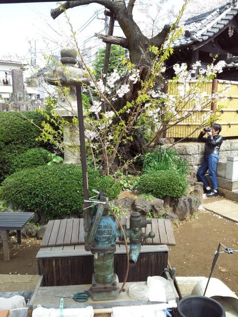 2012/3【春のフォトグラフ】花が咲いたら日記~目黒古桜と目黒川下流のソメイヨシノ_b0116271_15223061.jpg
