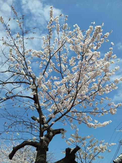 2012/3【春のフォトグラフ】花が咲いたら日記~目黒古桜と目黒川下流のソメイヨシノ_b0116271_15223202.jpg