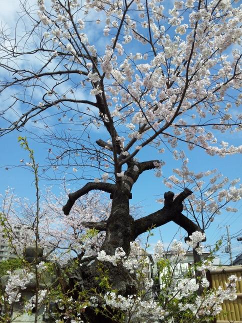 2012/3【春のフォトグラフ】花が咲いたら日記~目黒古桜と目黒川下流のソメイヨシノ_b0116271_15223310.jpg