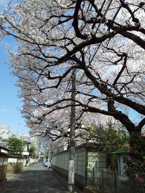 2012/3【春のフォトグラフ】花が咲いたら日記~目黒古桜と目黒川下流のソメイヨシノ_b0116271_15232672.jpg