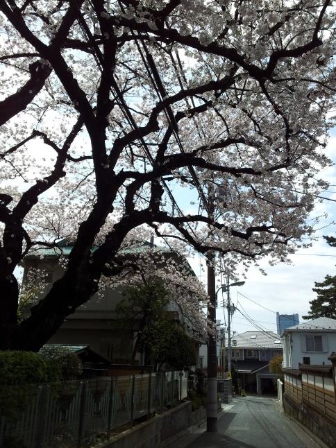 2012/3【春のフォトグラフ】花が咲いたら日記~目黒古桜と目黒川下流のソメイヨシノ_b0116271_15232699.jpg