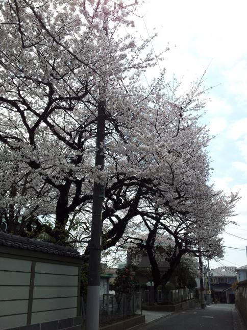 2012/3【春のフォトグラフ】花が咲いたら日記~目黒古桜と目黒川下流のソメイヨシノ_b0116271_15232891.jpg