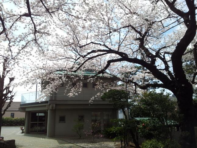 2012/3【春のフォトグラフ】花が咲いたら日記~目黒古桜と目黒川下流のソメイヨシノ_b0116271_15240576.jpg