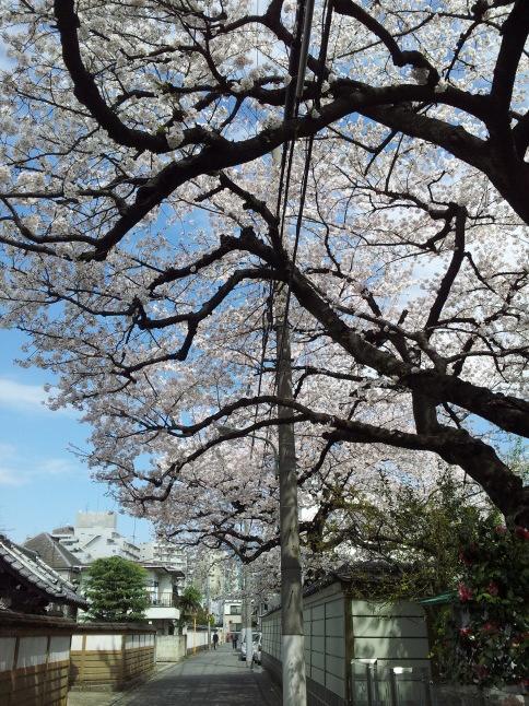 2012/3【春のフォトグラフ】花が咲いたら日記~目黒古桜と目黒川下流のソメイヨシノ_b0116271_15245036.jpg